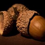 مروری بر خواص میوه بلوط