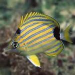 پروانه ماهی نوار آبی (Chaetodon Fremblii)