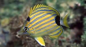 پروانه ماهي نوار آبي (Chaetodon Fremblii)،