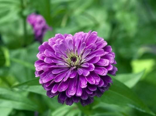 گل های آهاری