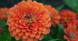 گل آهار و چگونگی نگهداری از آن