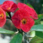 نگهداری از گل مرجان مینیاتوری (تاج خار)