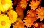 گل داوودی و روش نگهداری آن