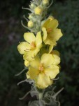 گل ماهور(خرگوشک) موثر در دمان ناراحتی ریوی