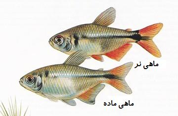 عکس: یک جفت ماهی تترای بوئنس آیرس