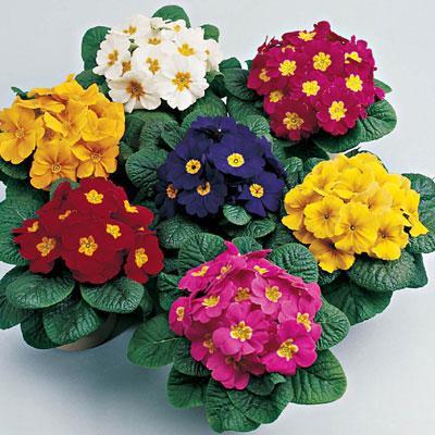 گل پامچال یک گل نوروزی