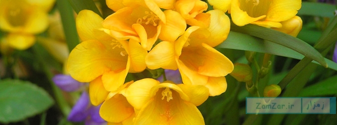 نگهداری از گل فریزیا