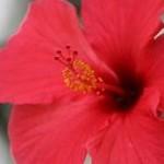 گل ختمی چینی (Hibiscus chinensis)