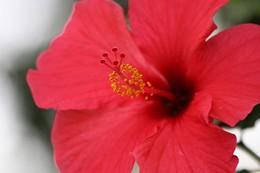 ختمی چینی (Hibiscus chinensis)