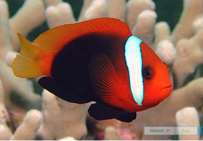 شقایق ماهی مشکی