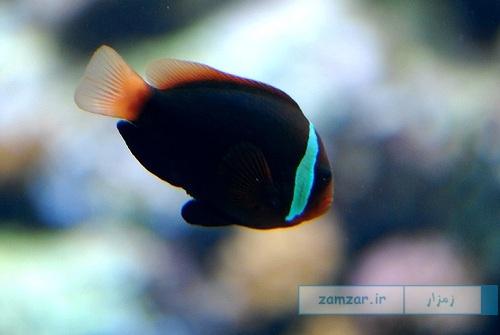 دلقک ماهی نوار آبی (پادانگ )