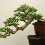 درختچه های مینیاتوری بونسای و نحوه پرورش آن