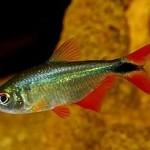 ماهی تترای بوئنوس آیرس