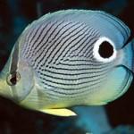 پروانه ماهی ها (Chaetodontidae)