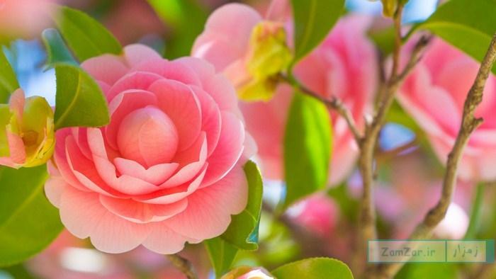 عکس هایی از گل کاملیا