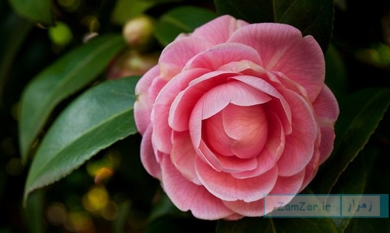 نگهداری از گل کاملیا