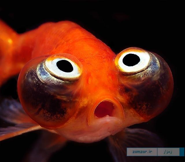 Celestial Eye Goldfish ستاره نگر یا چشم آسمانی