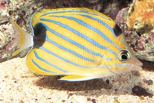 پروانه ماهی نوارآبی Chaetodon Fremblii