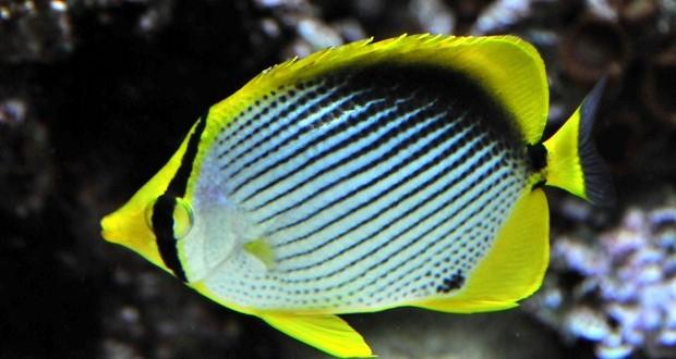 پروانه ماهي پشت سياه