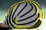 پروانه ماهی مایو (Chaetodon Meyeri)
