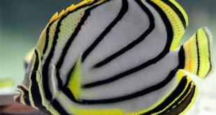 پروانه ماهی مایو