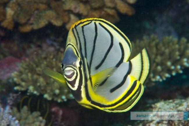 ماهی مایو (Chaetodon Meyeri)