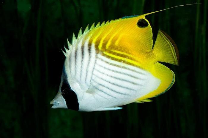 پروانه ماهی نخ باله (Chaetodon Auriga)