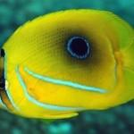 پروانه ماهی به نت (Chaetodon Bennetti)