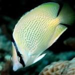 پروانه ماهی سیترون (Chaetodo Citrinellus)