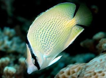 پروانه ماهی سيترون