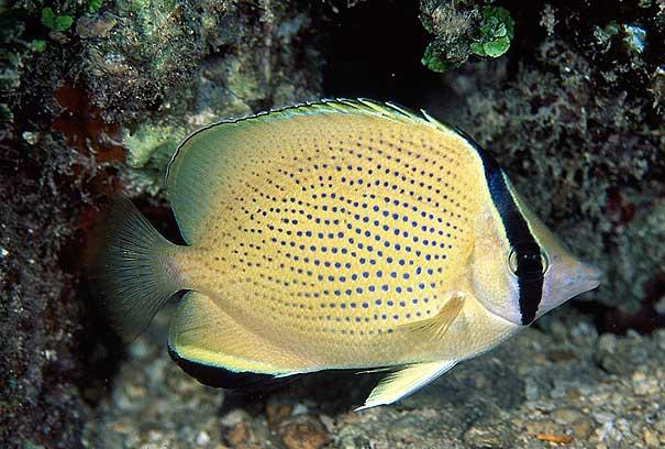 پروانه ماهی سیترون