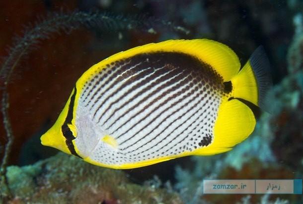پروانه ماهی پشت سیاه