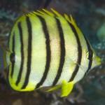 پروانه ماهی هشت بند (Chaetodon Octofasciantus)