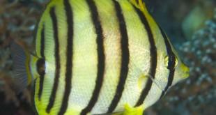 پروانه ماهي هشت بند (Chaetodon Octofasciantus)