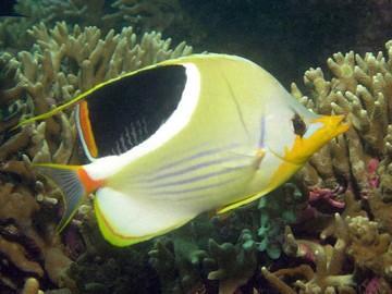 پروانه ماهی زین اسبی (Chaetodon Ephippium)