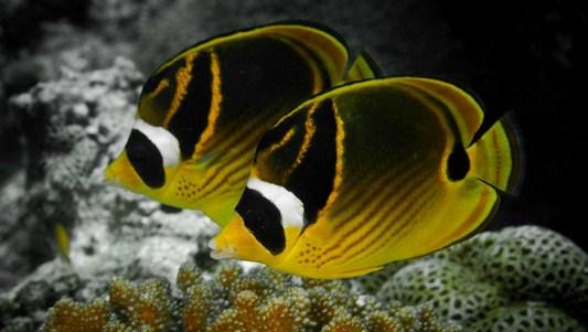 پروانه ماهی ماسکدار (راکون خط قرمز)  (Chaetodon Lunula - Raccoon butterflyfish)