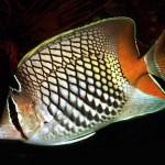 پروانه ماهی مرتنس (Chatedon Mertensii)