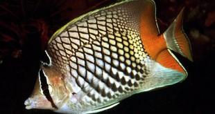 Chatedon Mertensii (پروانه ماهی)
