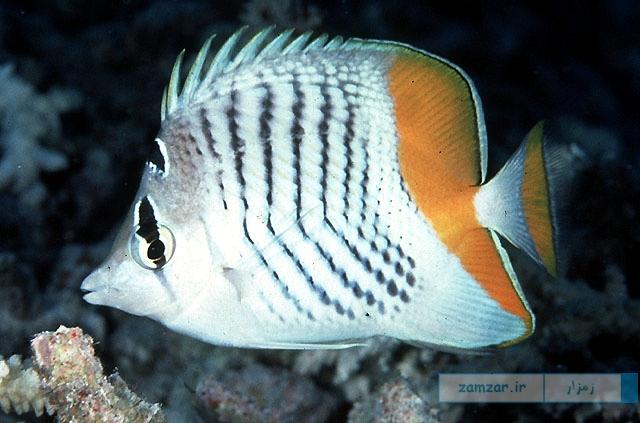 تصاویر پروانه ماهی مرتنس (Chatedon Mertensii)