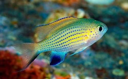 ماهی دامسل کرومیس واندربیلت (Vanderbilt Chromis)