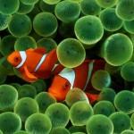 دلقک ماهی ها (شقایق ماهیان)