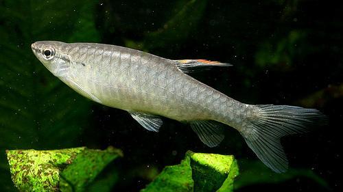 ماهی تترا آب پاش Copeina arnoldi