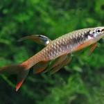 ماهی تترا آب پاش