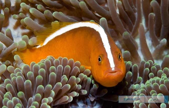 دلقک ماهی اِسکانک