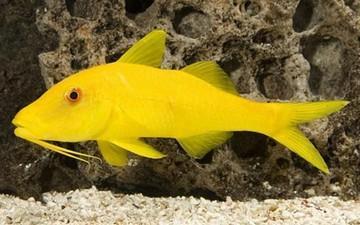 بز ماهی زرد