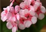 گل شمعدانی و انواع آن