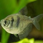 ماهی تترای سیاه دامن دار (Black Widow Tetra)