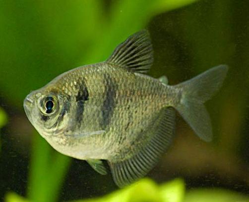 ماهی تترای سیاه (بلک ویدو)
