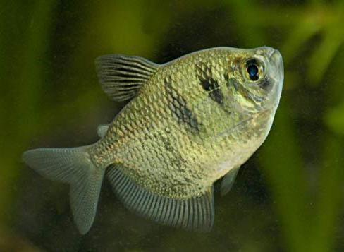 ماهی تترای سیاه