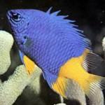 دوشیزه ماهی ها (Abudefduf)